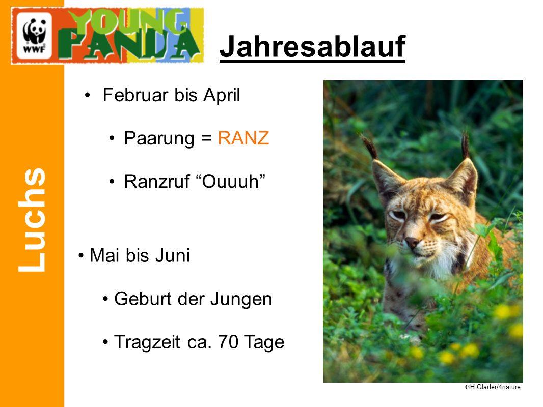 Luchs Jahresablauf Februar bis April Paarung = RANZ Ranzruf Ouuuh Mai bis Juni Geburt der Jungen Tragzeit ca.