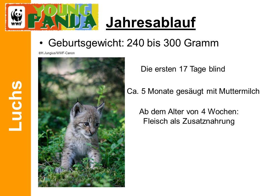 Luchs Jahresablauf Geburtsgewicht: 240 bis 300 Gramm Die ersten 17 Tage blind Ca.