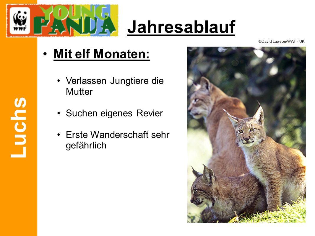 Luchs Jahresablauf Mit elf Monaten: Verlassen Jungtiere die Mutter Suchen eigenes Revier Erste Wanderschaft sehr gefährlich ©David Lawson/WWF- UK