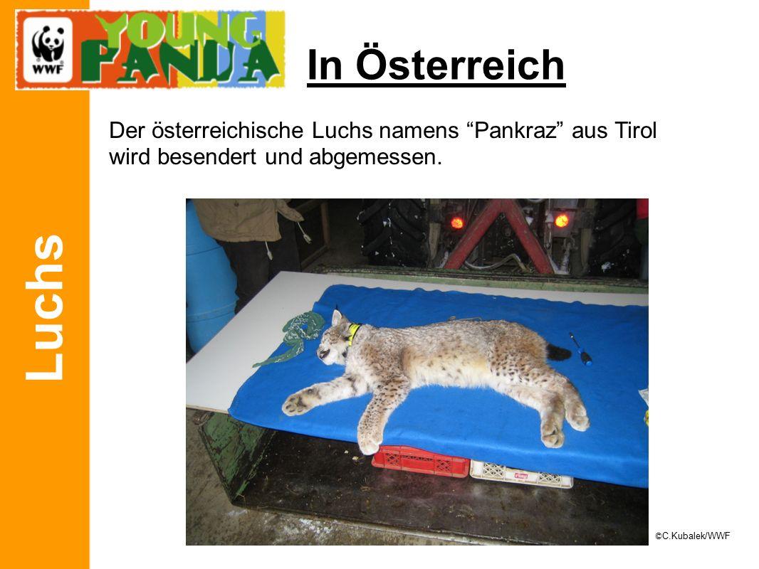 Luchs In Österreich Der österreichische Luchs namens Pankraz aus Tirol wird besendert und abgemessen.