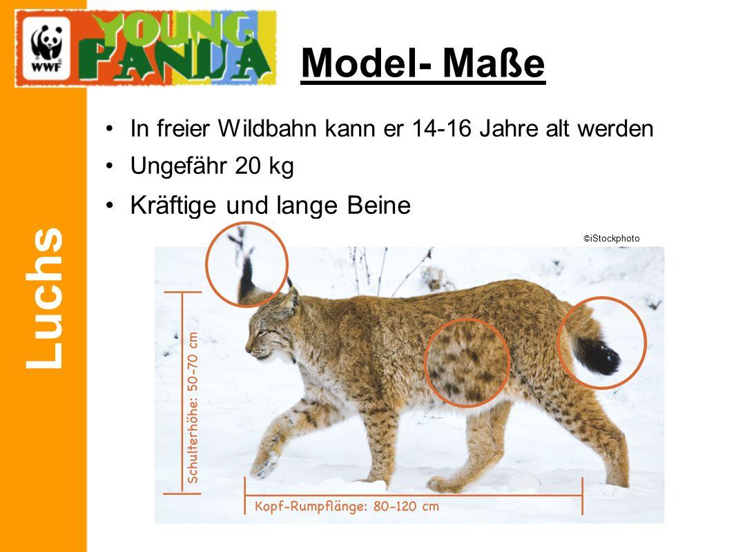 Luchs Model- Maße In freier Wildbahn kann er 14-16 Jahre alt werden Ungefähr 20 kg Kräftige und lange Beine © iStockphoto