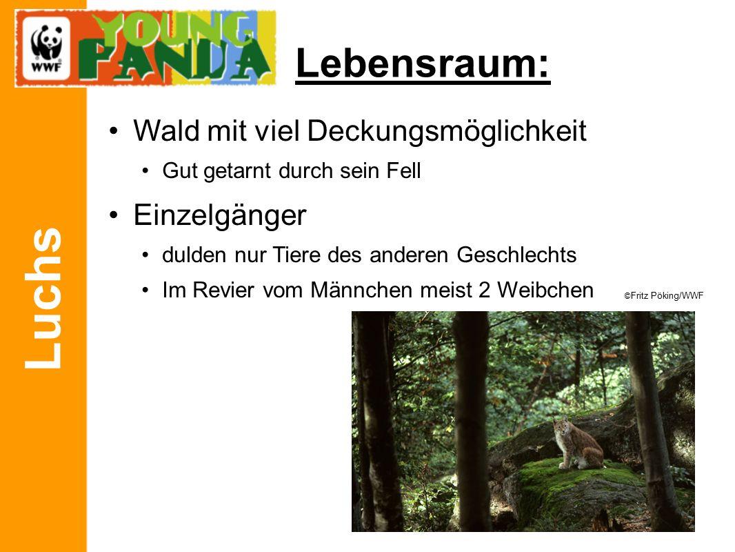 Luchs Lebensraum: Wald mit viel Deckungsmöglichkeit Einzelgänger REVIERGRÖßE: Kuder: 120 bis 400 km 2 Katze: 100 bis 150 km 2 ©Fritz Pöking/WWF