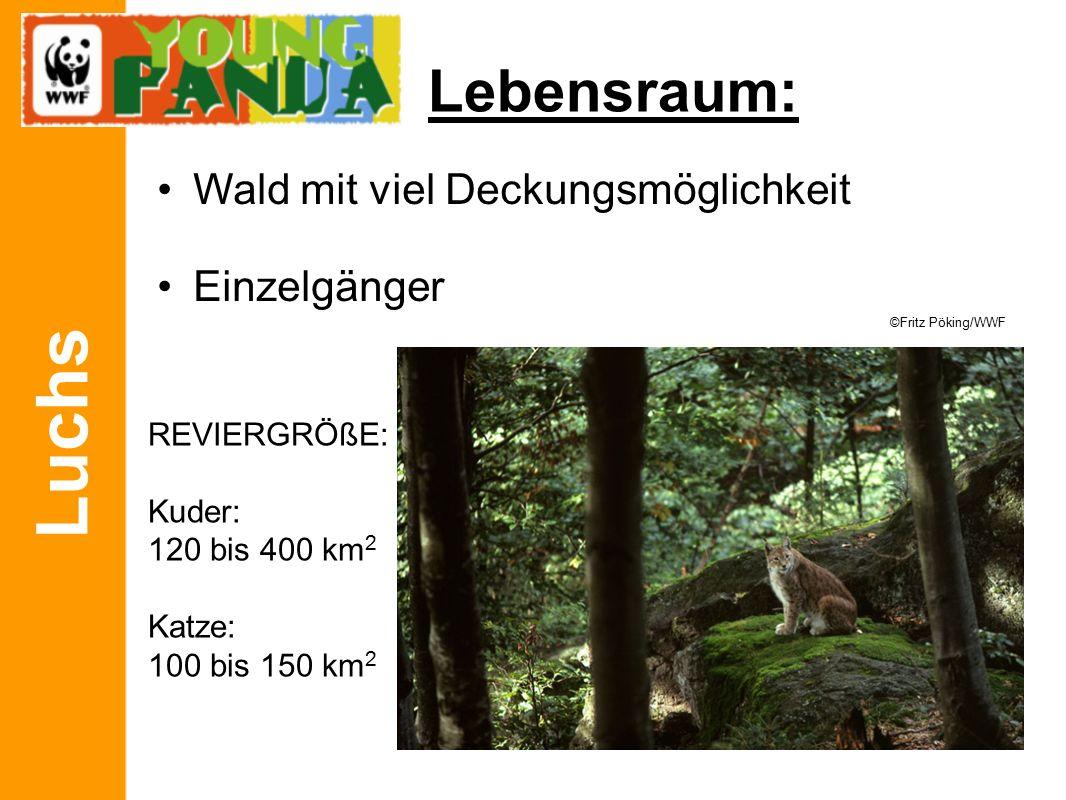 Luchs Menüplan FLEISCHFRESSER Beutetiere können dreimal so schwer sein Meist alte, schwache oder kranke Tiere © Fred Hazelhoff/WWF © E.Haarberg/WWF