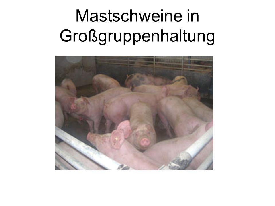 Mastschweine in Großgruppenhaltung