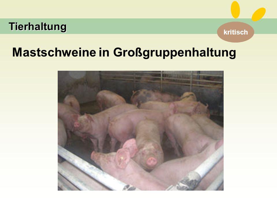 kritisch Tierhaltung Mastschweine in Großgruppenhaltung