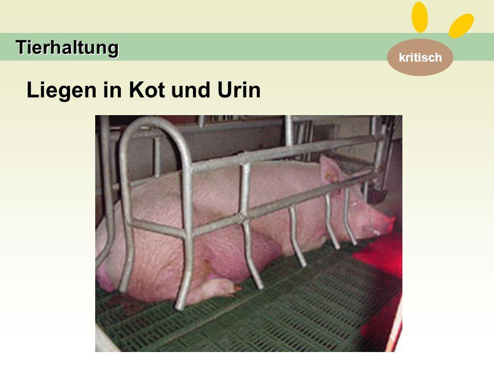 kritisch Tierhaltung Liegen in Kot und Urin