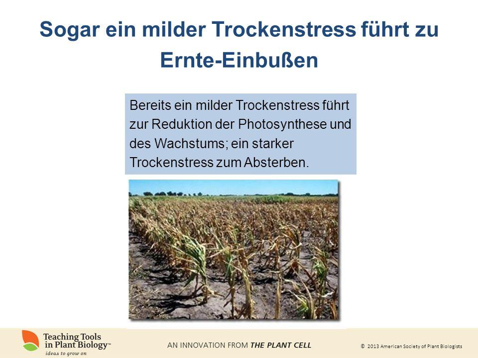 © 2013 American Society of Plant Biologists Sogar ein milder Trockenstress führt zu Ernte-Einbußen Bereits ein milder Trockenstress führt zur Reduktion der Photosynthese und des Wachstums; ein starker Trockenstress zum Absterben.