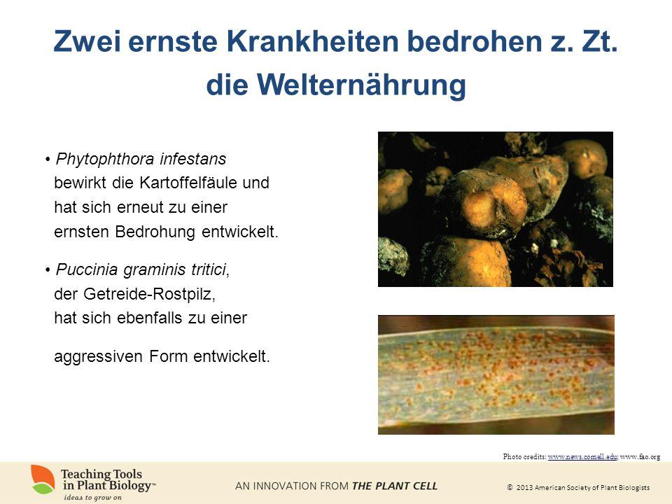 © 2013 American Society of Plant Biologists Zwei ernste Krankheiten bedrohen z.