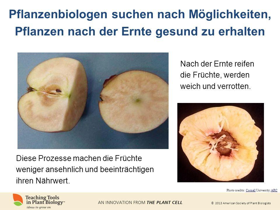 © 2013 American Society of Plant Biologists Nach der Ernte reifen die Früchte, werden weich und verrotten.