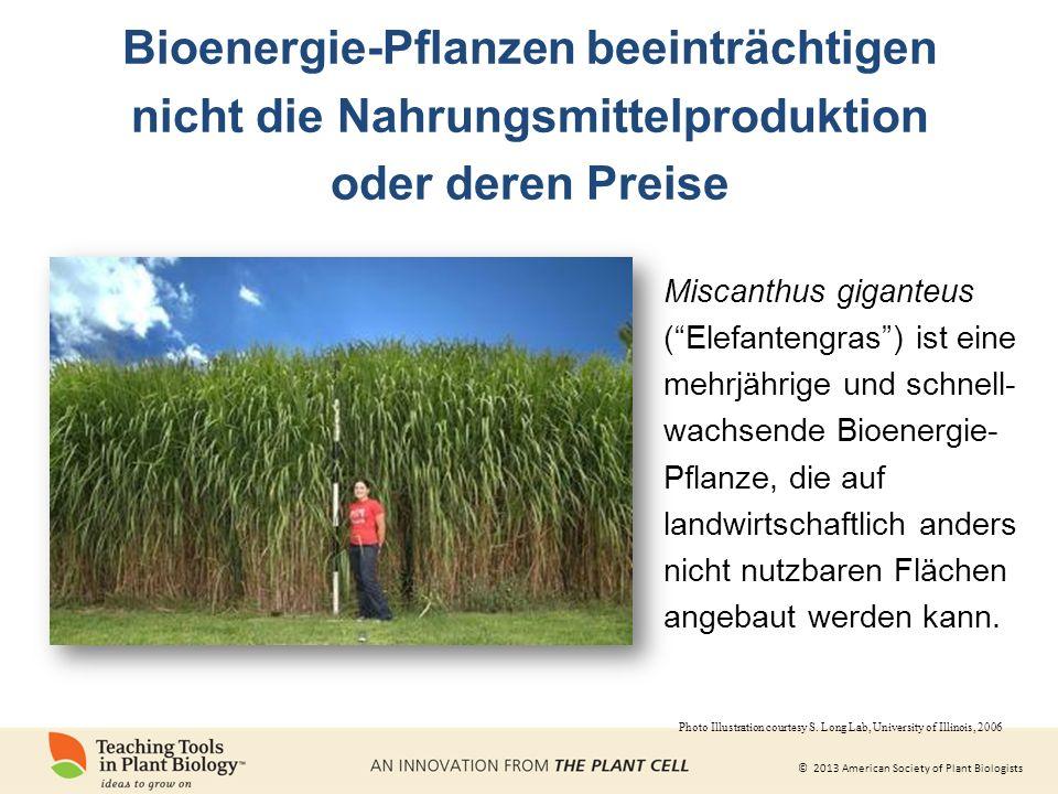 © 2013 American Society of Plant Biologists Bioenergie-Pflanzen beeinträchtigen nicht die Nahrungsmittelproduktion oder deren Preise Miscanthus giganteus ( Elefantengras ) ist eine mehrjährige und schnell- wachsende Bioenergie- Pflanze, die auf landwirtschaftlich anders nicht nutzbaren Flächen angebaut werden kann.
