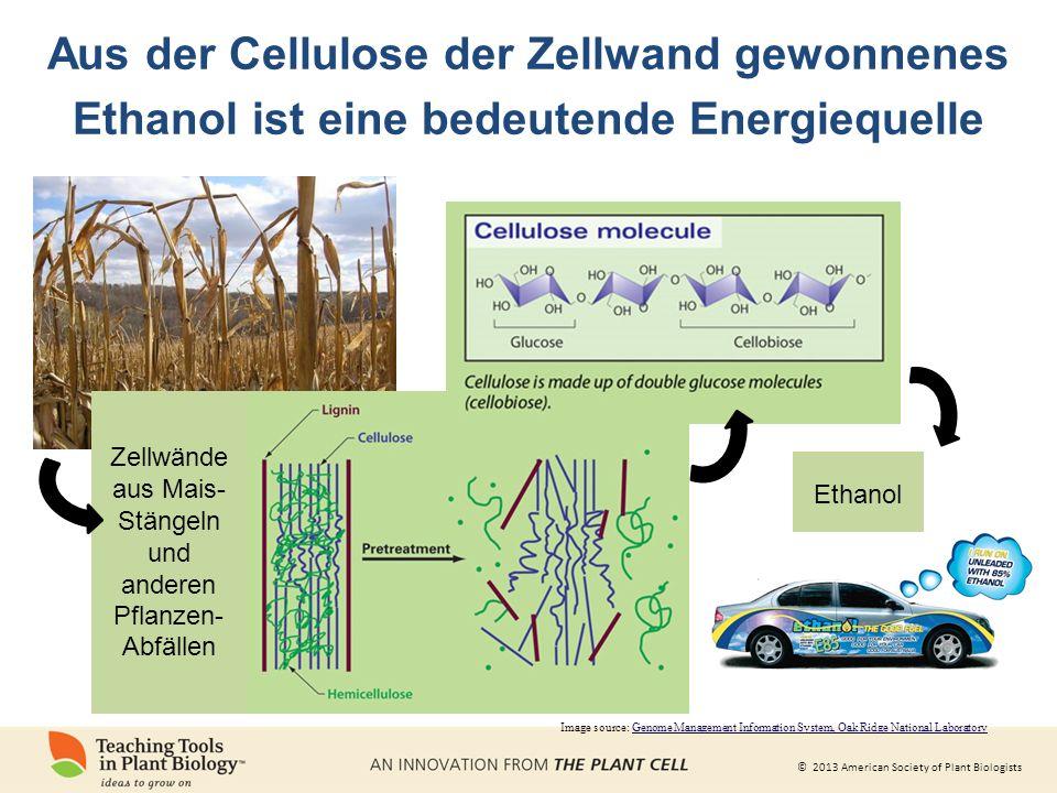 © 2013 American Society of Plant Biologists Aus der Cellulose der Zellwand gewonnenes Ethanol ist eine bedeutende Energiequelle Zellwände aus Mais- Stängeln und anderen Pflanzen- Abfällen Ethanol Image source: Genome Management Information System, Oak Ridge National Laboratory