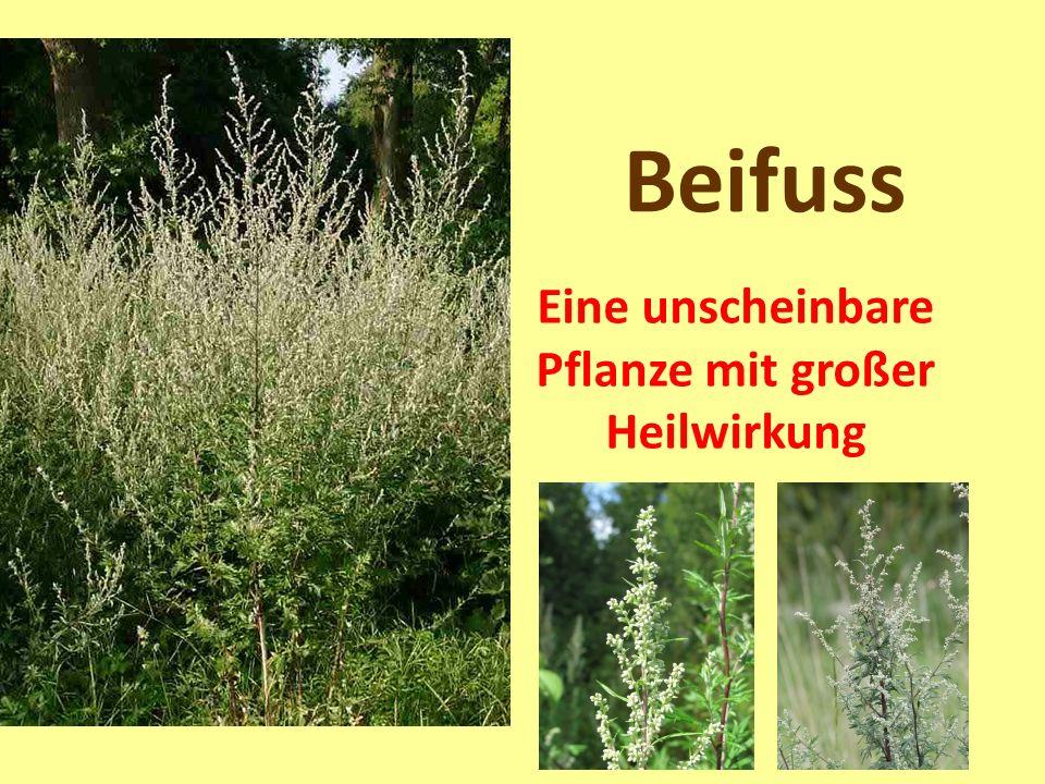 Beifuss Eine unscheinbare Pflanze mit großer Heilwirkung