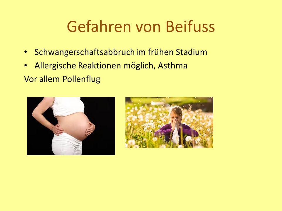 Gefahren von Beifuss Schwangerschaftsabbruch im frühen Stadium Allergische Reaktionen möglich, Asthma Vor allem Pollenflug