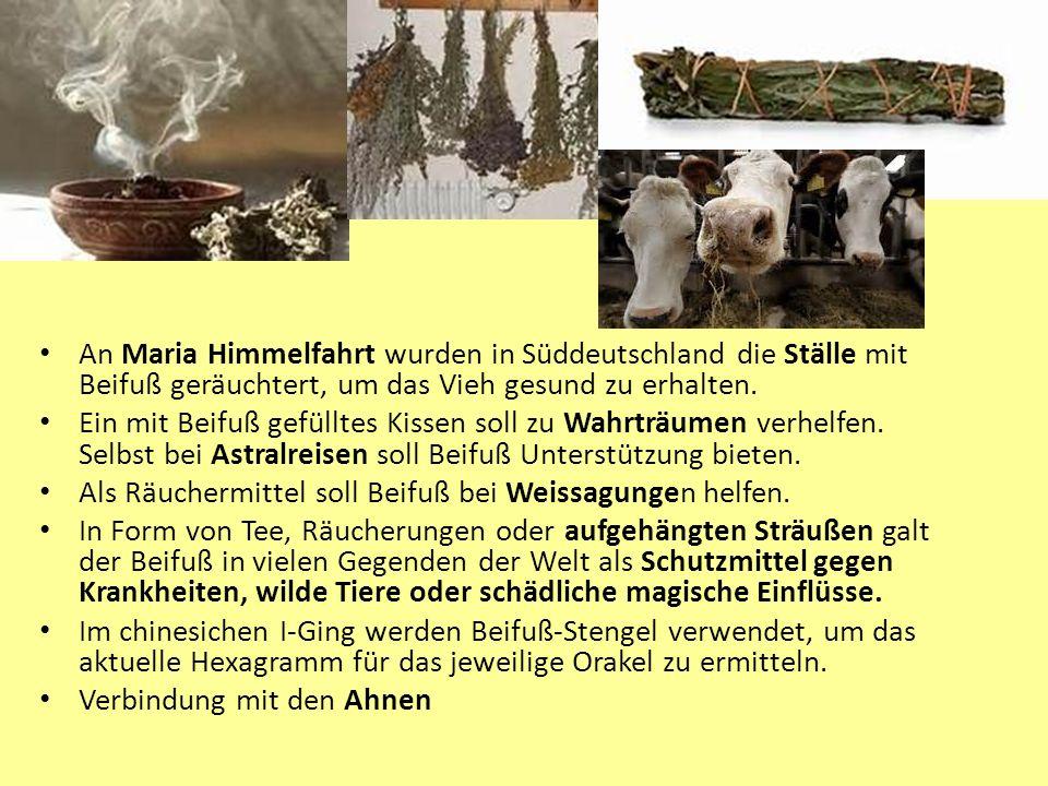 An Maria Himmelfahrt wurden in Süddeutschland die Ställe mit Beifuß geräuchtert, um das Vieh gesund zu erhalten.