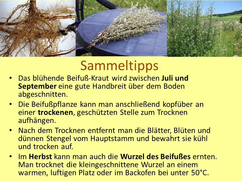 Sammeltipps Das blühende Beifuß-Kraut wird zwischen Juli und September eine gute Handbreit über dem Boden abgeschnitten.