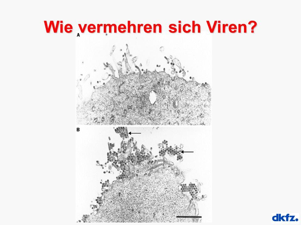 Wie vermehren sich Viren