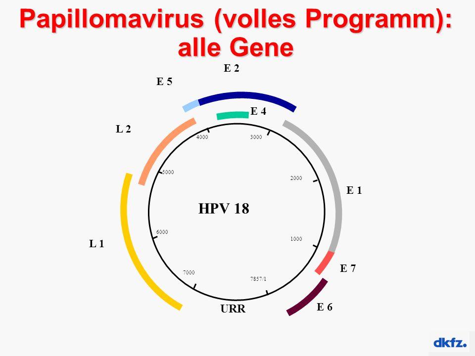 Papillomavirus (volles Programm): alle Gene 7857/1 1000 2000 30004000 5000 6000 7000 URR E 6 E 1 E 7 E 2 E 4 E 5 L 2 L 1 HPV 18