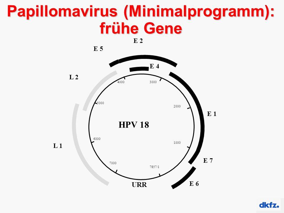 Papillomavirus (Minimalprogramm): frühe Gene 7857/1 1000 2000 30004000 5000 6000 7000 URR E 6 E 1 E 7 E 2 E 4 E 5 L 2 L 1 HPV 18