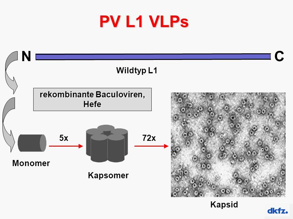 NC Wildtyp L1 PV L1 VLPs Monomer Kapsomer 5x Kapsid 72x rekombinante Baculoviren, Hefe