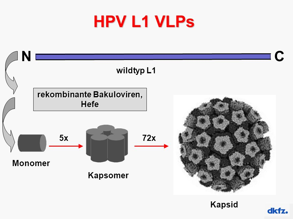 NC wildtyp L1 HPV L1 VLPs Monomer Kapsomer 5x Kapsid 72x rekombinante Bakuloviren, Hefe