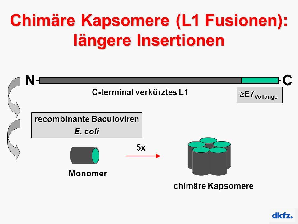 Chimäre Kapsomere (L1 Fusionen): längere Insertionen chimäre Kapsomere Monomer 5x NC C-terminal verkürztes L1  E7 Vollänge  E7 Vollänge recombinante Baculoviren E.