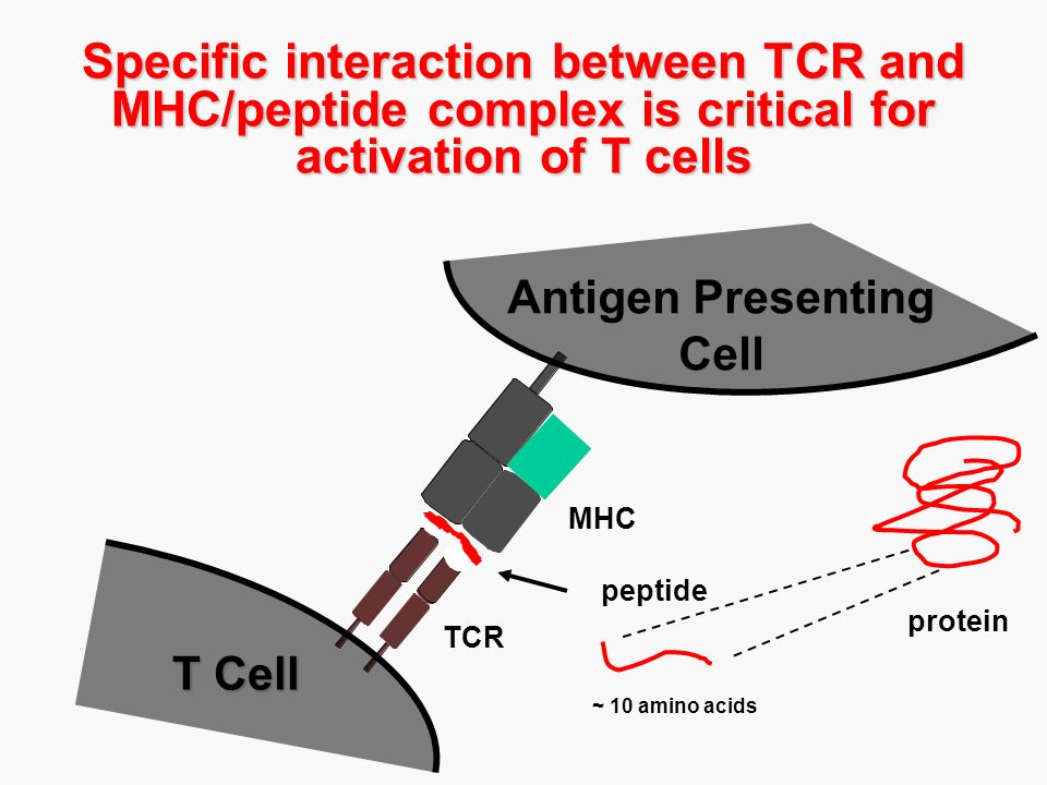 Specific interaction between TCR and MHC/peptide complex is critical for activation of T cells TCR MHC peptide T Cell Antigen Presenting Cell protein