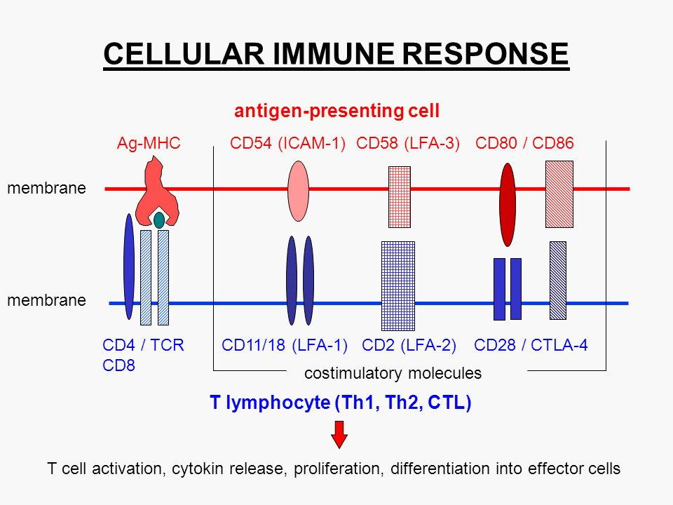 antigen-presenting cell T lymphocyte (Th1, Th2, CTL) Ag-MHCCD54 (ICAM-1)CD58 (LFA-3)CD80 / CD86 membrane CD4 / TCRCD11/18 (LFA-1)CD2 (LFA-2)CD28 / CTLA-4 CD8 T cell activation, cytokin release, proliferation, differentiation into effector cells membrane costimulatory molecules CELLULAR IMMUNE RESPONSE