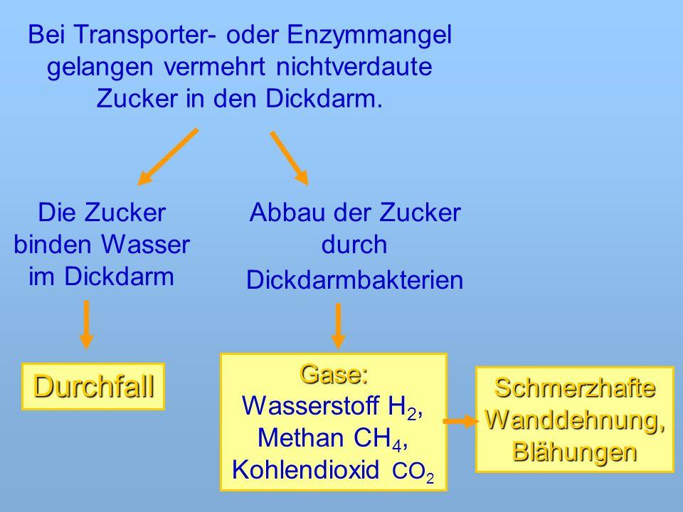 Bei Transporter- oder Enzymmangel gelangen vermehrt nichtverdaute Zucker in den Dickdarm.