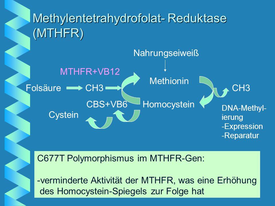 Methylentetrahydrofolat- Reduktase (MTHFR) Nahrungseiweiß Methionin Homocystein CH3 DNA-Methyl- ierung -Expression -Reparatur Cystein CBS+VB6 FolsäureCH3 MTHFR+VB12 C677T Polymorphismus im MTHFR-Gen: -verminderte Aktivität der MTHFR, was eine Erhöhung des Homocystein-Spiegels zur Folge hat