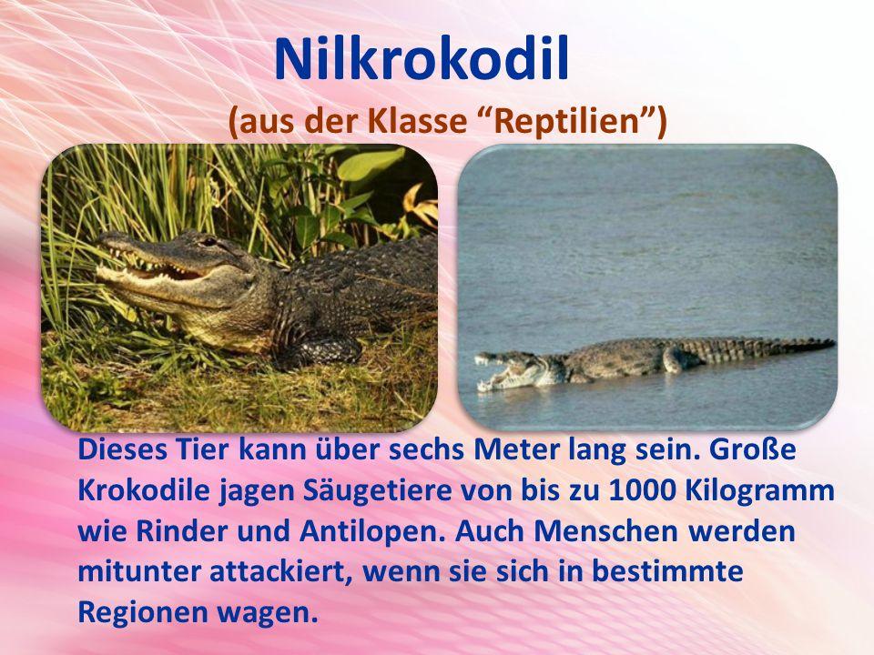 Nilkrokodil (aus der Klasse Reptilien ) Dieses Tier kann über sechs Meter lang sein.