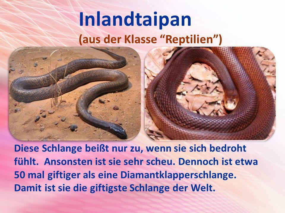 Inlandtaipan (aus der Klasse Reptilien ) Diese Schlange beißt nur zu, wenn sie sich bedroht fühlt.