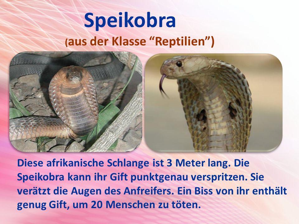 Speikobra ( aus der Klasse Reptilien ) Diese afrikanische Schlange ist 3 Meter lang.