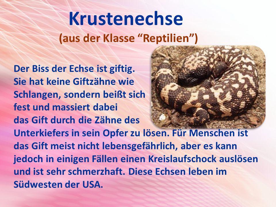 Krustenechse (aus der Klasse Reptilien ) Der Biss der Echse ist giftig.