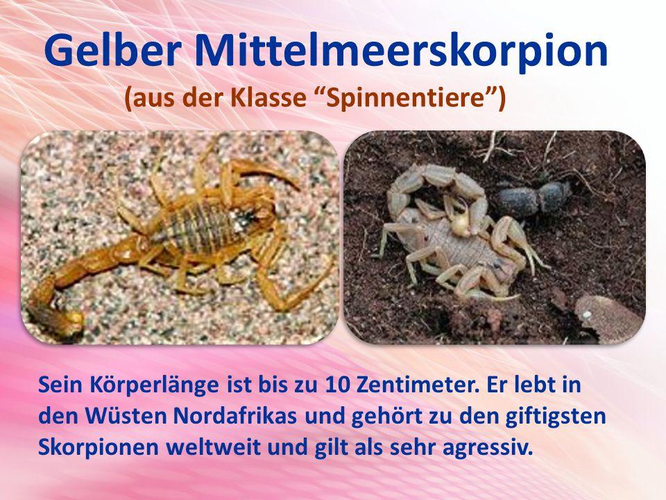 Gelber Mittelmeerskorpion (aus der Klasse Spinnentiere ) Sein Körperlänge ist bis zu 10 Zentimeter.