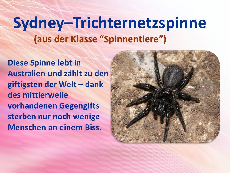 Sydney–Trichternetzspinne (aus der Klasse Spinnentiere ) Diese Spinne lebt in Australien und zählt zu den giftigsten der Welt – dank des mittlerweile vorhandenen Gegengifts sterben nur noch wenige Menschen an einem Biss.