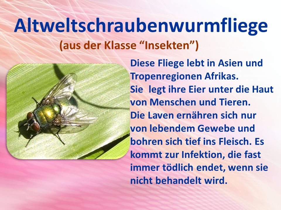 Altweltschraubenwurmfliege (aus der Klasse Insekten ) Diese Fliege lebt in Asien und Tropenregionen Afrikas.