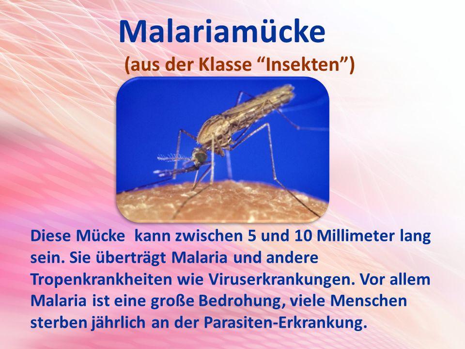Malariamücke (aus der Klasse Insekten ) Diese Mücke kann zwischen 5 und 10 Millimeter lang sein.