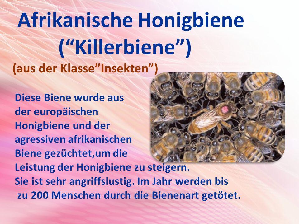 Afrikanische Honigbiene ( Killerbiene ) (aus der Klasse Insekten ) Diese Biene wurde aus der europäischen Honigbiene und der agressiven afrikanischen Biene gezüchtet,um die Leistung der Honigbiene zu steigern.
