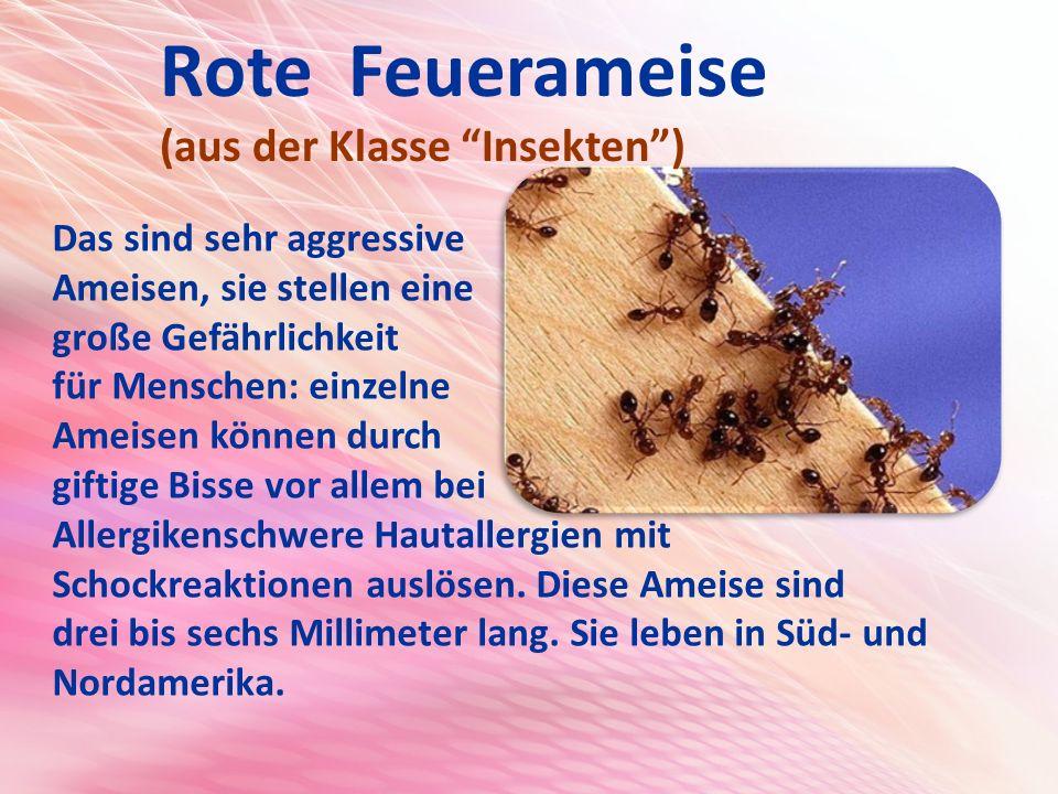 Rote Feuerameise (aus der Klasse Insekten ) Das sind sehr aggressive Ameisen, sie stellen eine große Gefährlichkeit für Menschen: einzelne Ameisen können durch giftige Bisse vor allem bei Allergikenschwere Hautallergien mit Schockreaktionen auslösen.