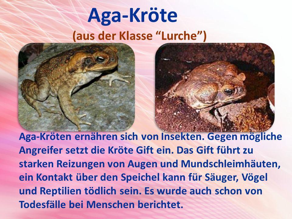 Aga-Kröte (aus der Klasse Lurche ) Aga-Kröten ernähren sich von Insekten.