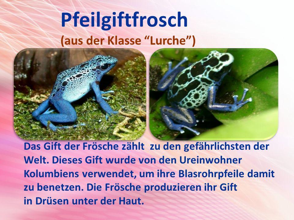 Pfeilgiftfrosch (aus der Klasse Lurche ) Das Gift der Frösche zählt zu den gefährlichsten der Welt.