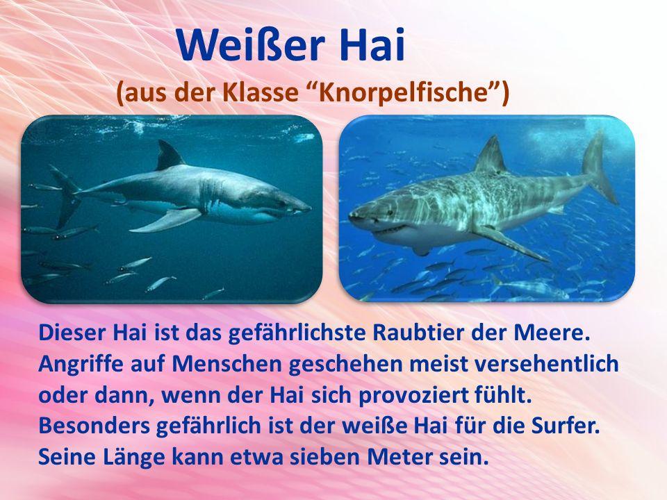 Weißer Hai (aus der Klasse Knorpelfische ) Dieser Hai ist das gefährlichste Raubtier der Meere.