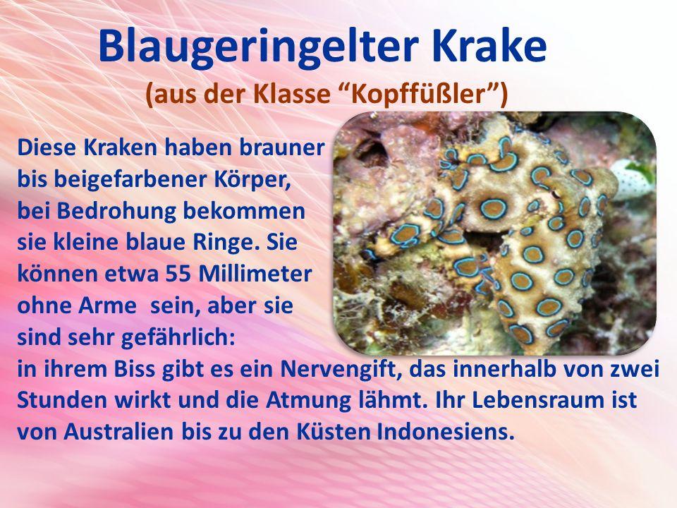 Blaugeringelter Krake (aus der Klasse Kopffüßler ) Diese Kraken haben brauner bis beigefarbener Körper, bei Bedrohung bekommen sie kleine blaue Ringe.