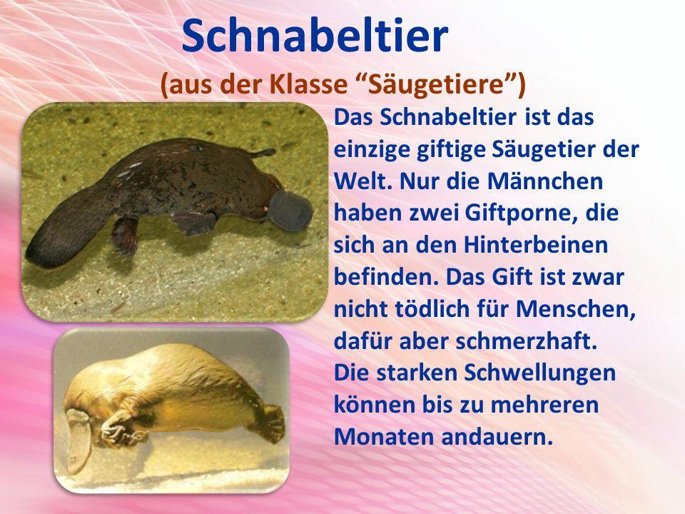 Schnabeltier (aus der Klasse Säugetiere ) Das Schnabeltier ist das einzige giftige Säugetier der Welt.