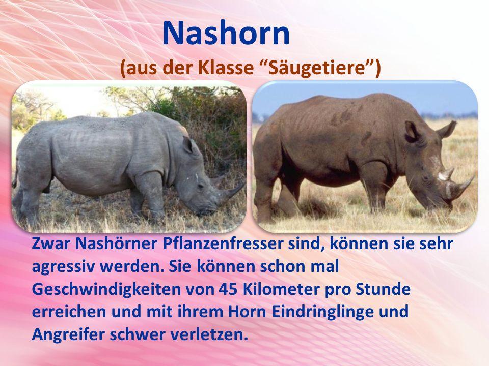 Nashorn (aus der Klasse Säugetiere ) Zwar Nashörner Pflanzenfresser sind, können sie sehr agressiv werden.