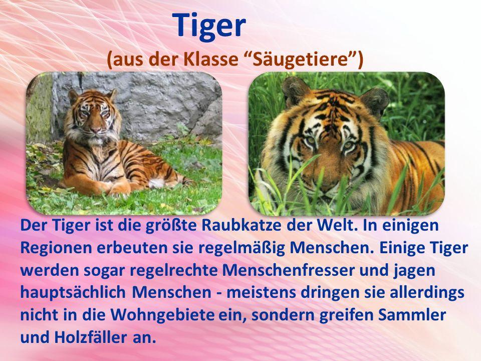 Tiger (aus der Klasse Säugetiere ) Der Tiger ist die größte Raubkatze der Welt.