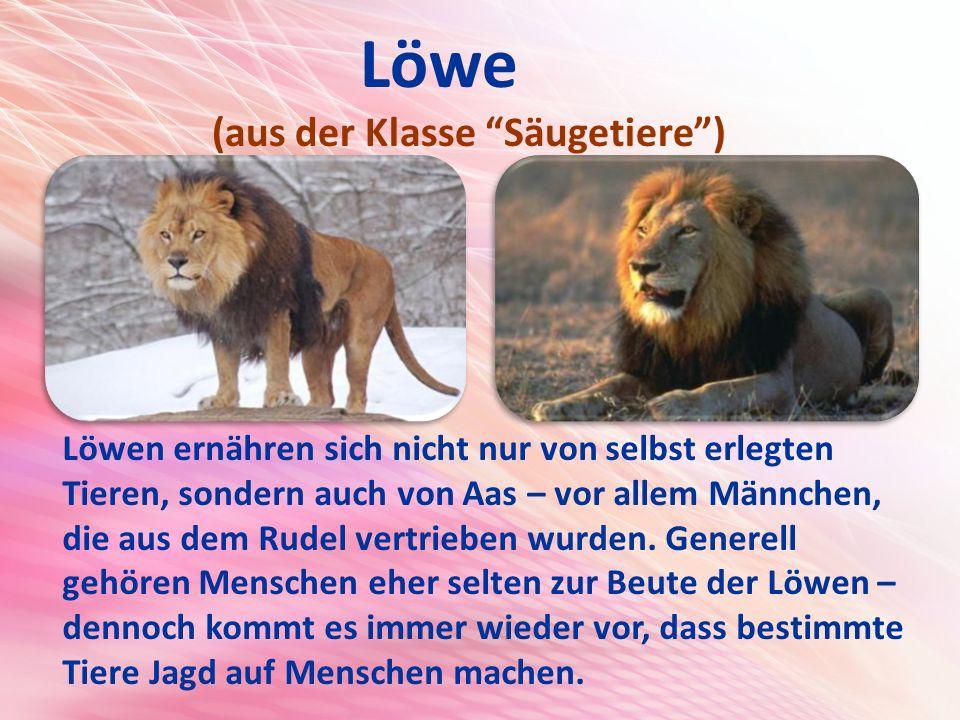 Löwe (aus der Klasse Säugetiere ) Löwen ernähren sich nicht nur von selbst erlegten Tieren, sondern auch von Aas – vor allem Männchen, die aus dem Rudel vertrieben wurden.