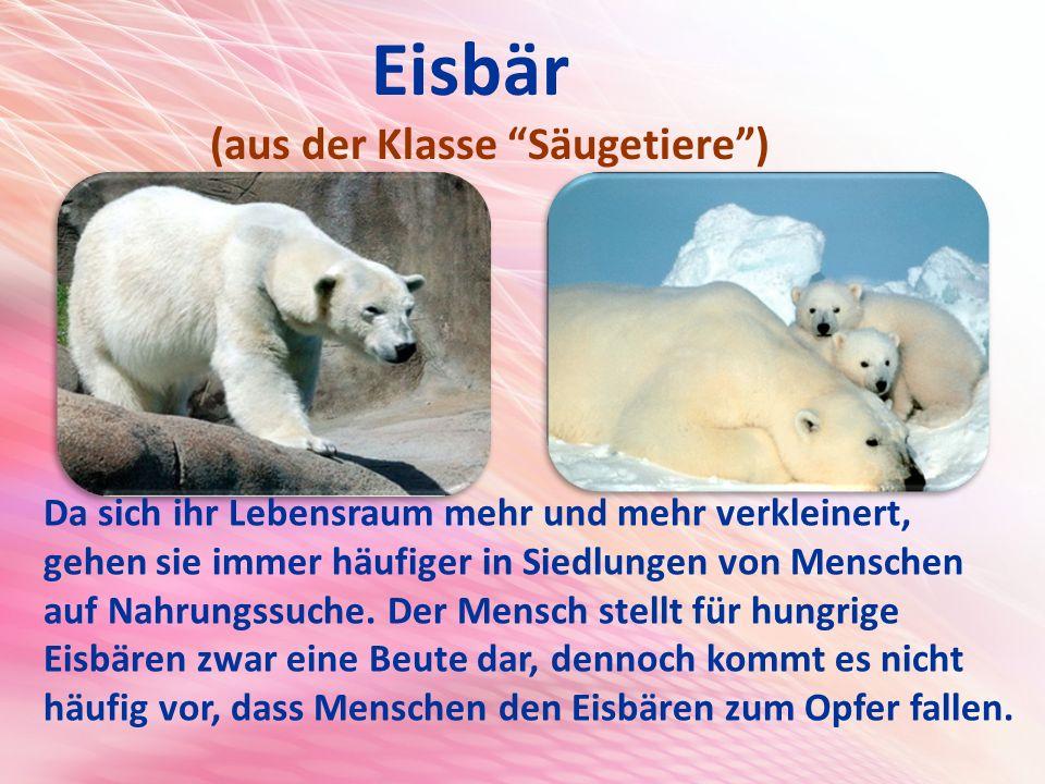 Eisbär (aus der Klasse Säugetiere ) Da sich ihr Lebensraum mehr und mehr verkleinert, gehen sie immer häufiger in Siedlungen von Menschen auf Nahrungssuche.