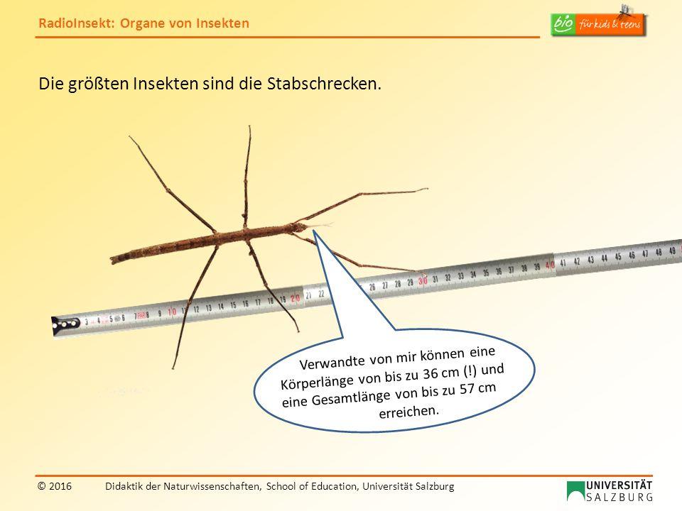 RadioInsekt: Organe von Insekten © 2016Didaktik der Naturwissenschaften, School of Education, Universität Salzburg Die größten Insekten sind die Stabschrecken.