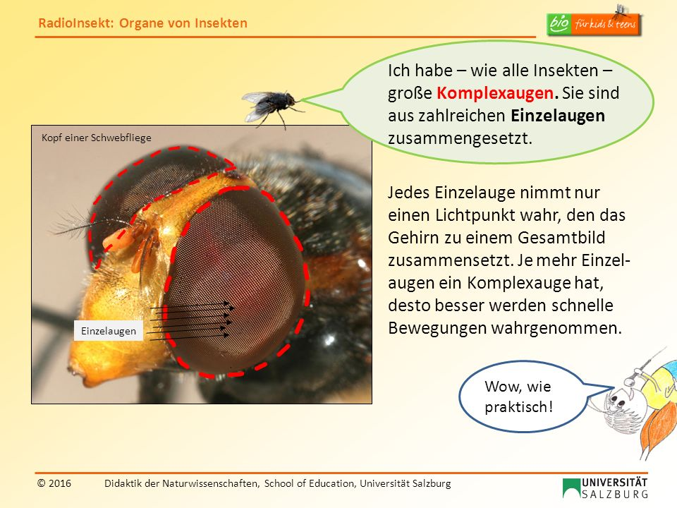 RadioInsekt: Organe von Insekten © 2016Didaktik der Naturwissenschaften, School of Education, Universität Salzburg Kopf einer Schwebfliege Einzelaugen